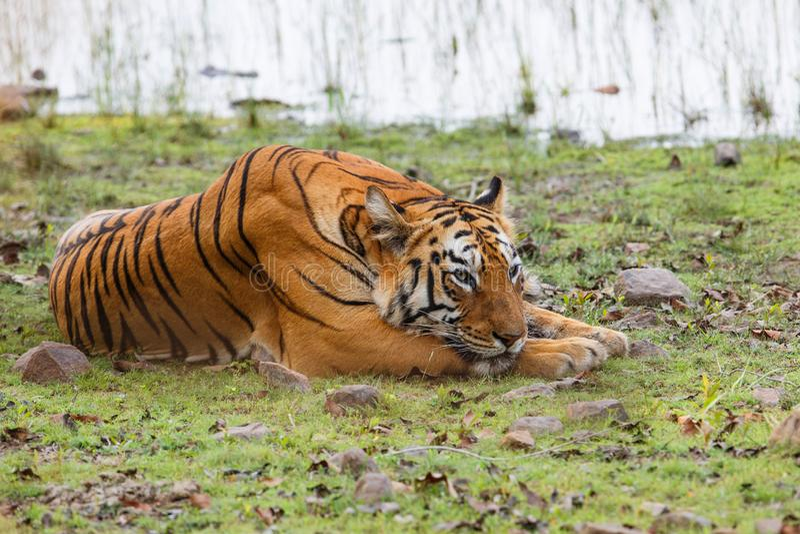 Żeński tygrys w Tadoba NP w India zdjęcia stock