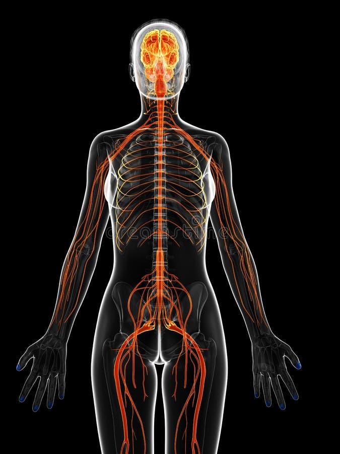 żeński układ nerwowy ilustracji