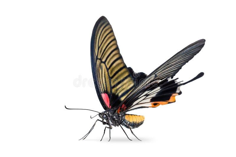 Żeński Wielki mormonu Papilio memnon motyl zdjęcia royalty free