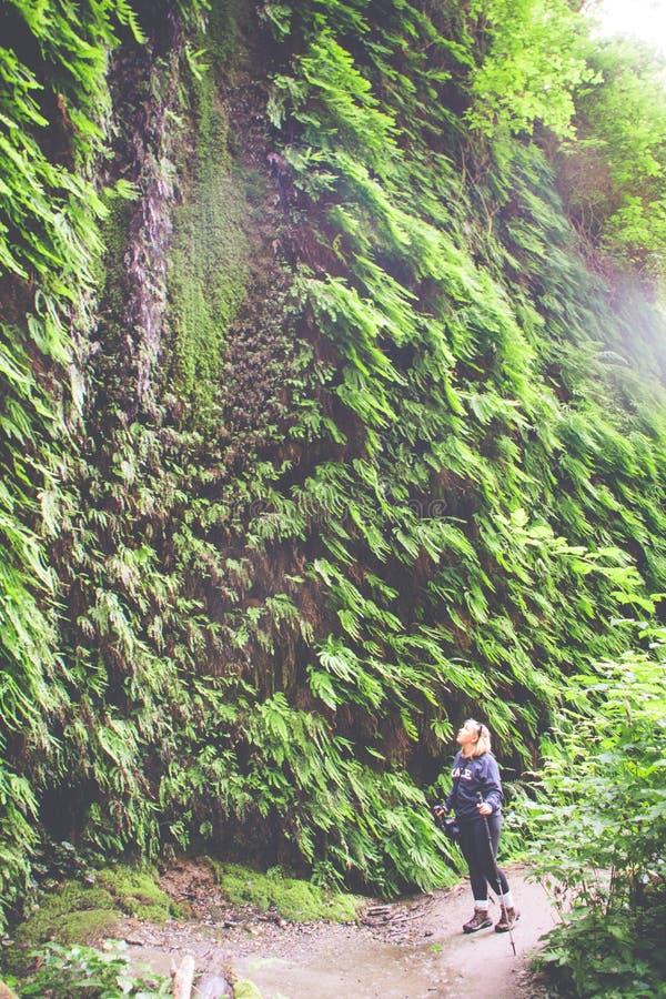 Żeński wycieczkowicz zatrzymuje podziwiać dżungli scenerię w Paprociowym jarze - Redwood park narodowy w Kalifornia Artystyczny f zdjęcie stock