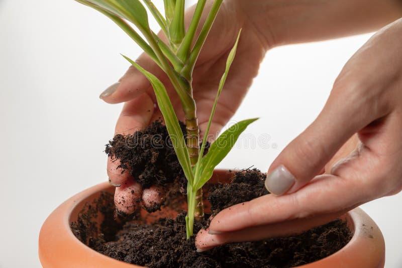 Żeńskie ręki dbają - dodaje ziemię zasadzać nowej małej zieleni flancy w kwiatu garnku Światowy współczucie dzień fotografia stock