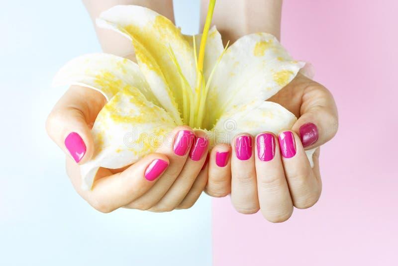 Żeńskie ręki z menchiami robią manikiur trzymać kwiatu na błękitnym tle, w górę obraz stock