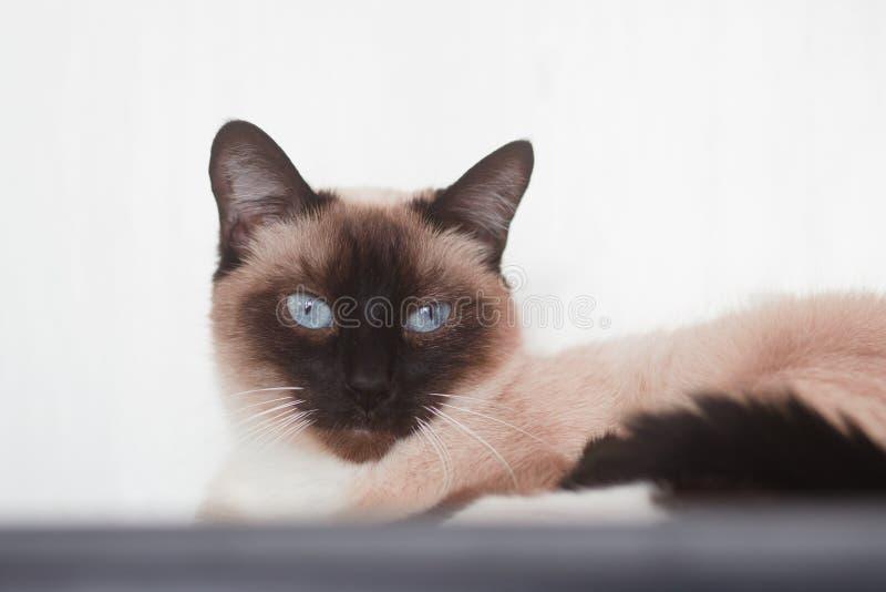 Żeńskiego Czekoladowego punktu Syjamski kot Patrzeje w kamerę zdjęcia royalty free