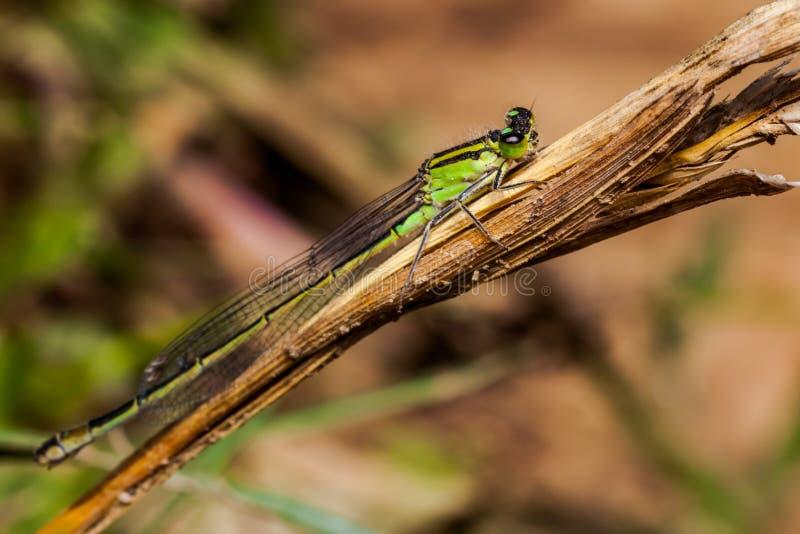 Żeńskiego dragonfly damselfly Coenagrion lazurowy puella obrazy stock
