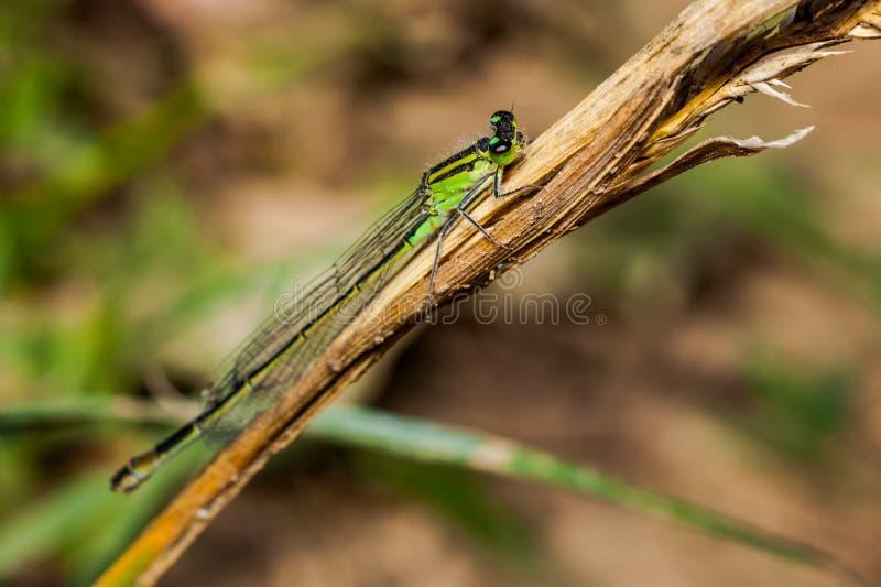 Żeńskiego dragonfly damselfly Coenagrion lazurowy puella fotografia stock