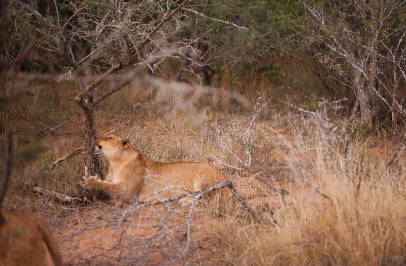 żeńskiego lwa chrobotliwy drzewo obraz stock