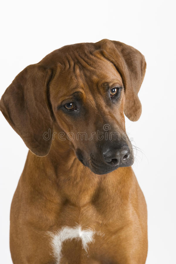 żeńskiego portreta rhodesian ridgeback obraz stock
