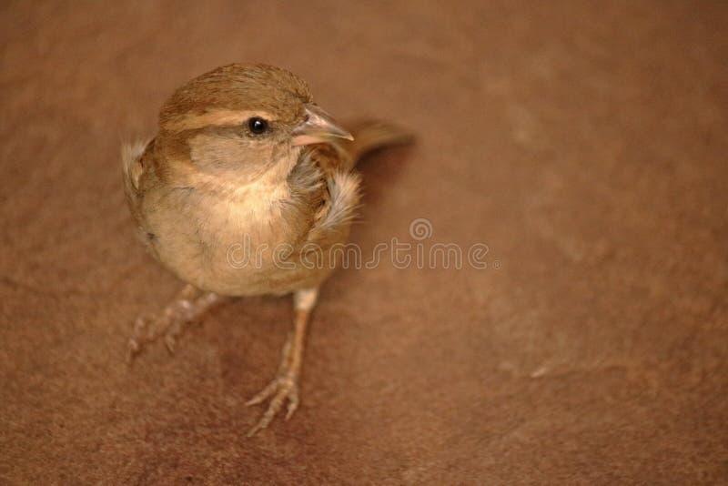 ŻEŃSKIEGO przylądka WRÓBLI ptak NA podłoga obraz stock