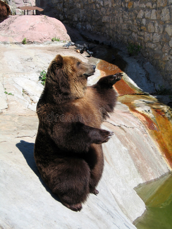 żebrak bear obrazy royalty free