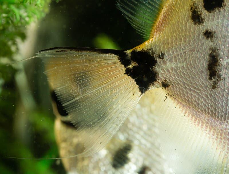 Żebro ryba w akwarium w domu fotografia royalty free