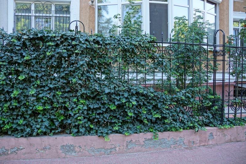 Żelazny metalu czerni ogrodzenie zakrywający z zieloną roślinnością obrazy stock