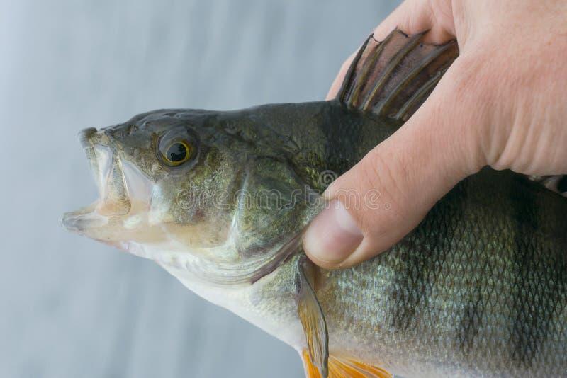 Żerdzi rybi trofeum w ręce rybak fotografia royalty free