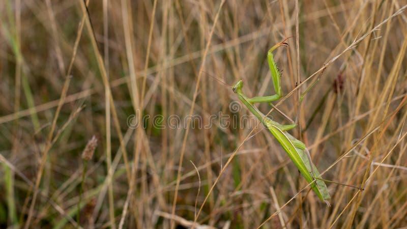 Żerowanie modliszki czajenia insekty w wysokiej trawie zdjęcia stock