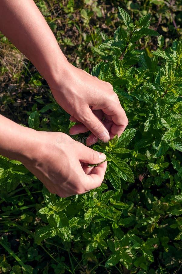 Żniw ziele lub miętówek ręk zielony zbliżenie zdjęcia royalty free