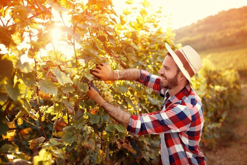 Żniwiarz tnąca wiązka winogrona w winnicy zdjęcia royalty free