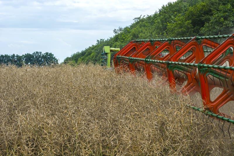 Żniwiarza żniwiarz zbiera dojrzałe rapeseed fasole na polu obraz stock