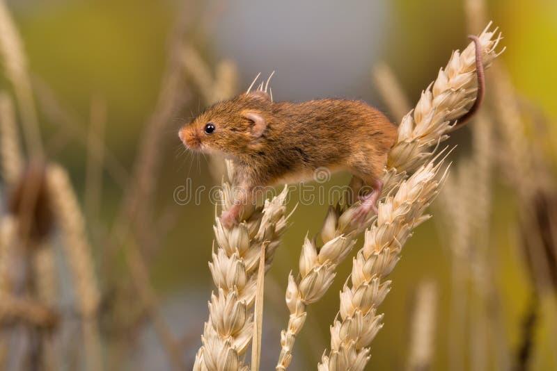 Żniwo mysz w banatce zdjęcia royalty free