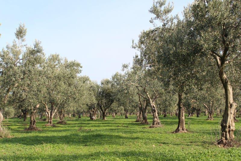 żniwo oliwka zdjęcie stock