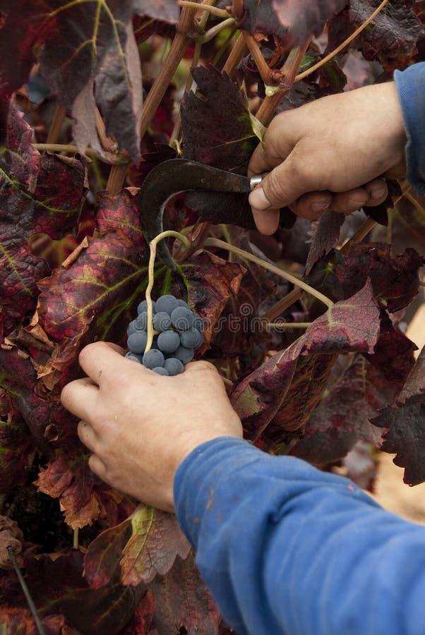 Żniwo, rżnięta wiązka winogrona dla wina fotografia stock