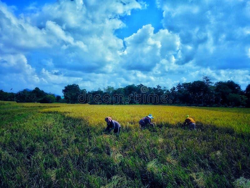 Żniwo ryżowa roślina zdjęcie stock