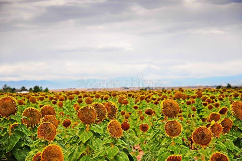 żniwo słoneczniki dojrzali przygotowywający fotografia stock