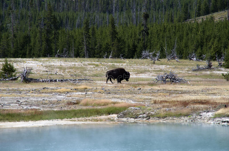 Żubr blisko Biskwitowego Basenowego Yellowstone parka narodowego obrazy stock