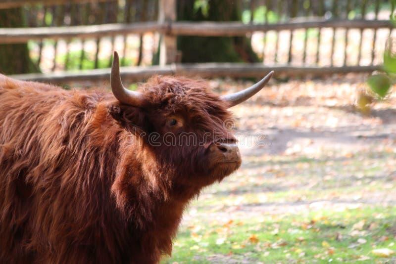 Żubr w Germany w zoo w Nuremberg obrazy royalty free
