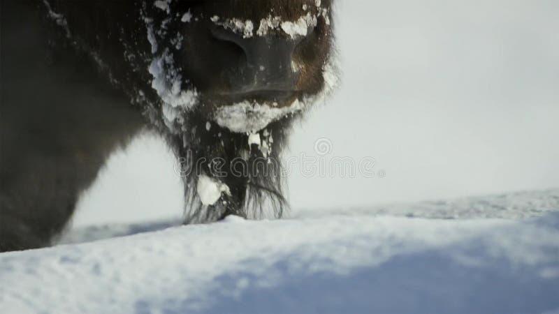 Żubra aport trawa jest głęboka pod śniegiem Ich gęści żakiety mogą izolować one zestrzelać -20 Fahrenheit fotografia royalty free