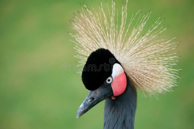 Download żuraw koronujący grey zdjęcie stock. Obraz złożonej z piórko - 13340414