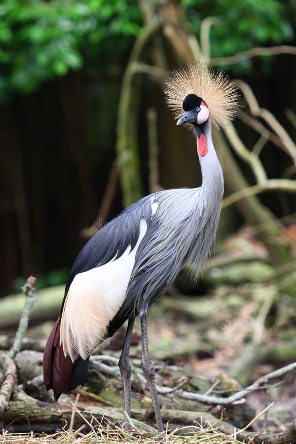 żuraw koronujący grey fotografia stock
