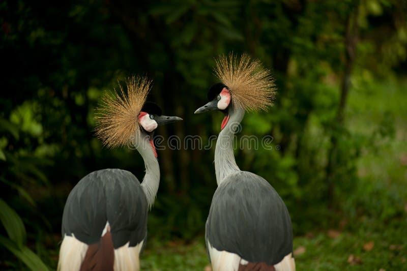 żuraw koronujący popielaty bliźniak obrazy royalty free