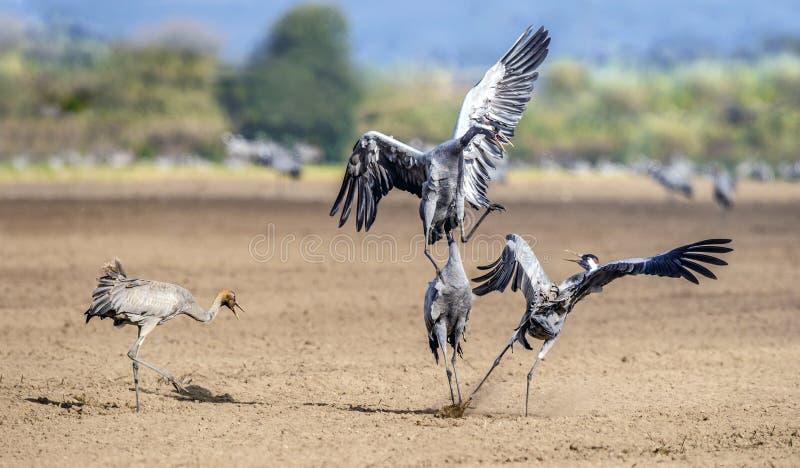Żurawie tanczy w polu Pospolity dźwigowy Grus grus, także znać jako Eurazjatycki żuraw obrazy royalty free