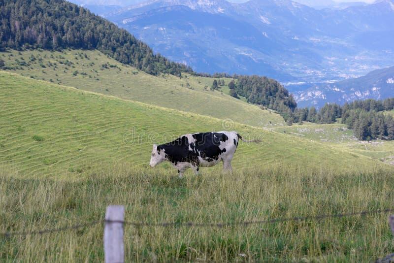 Żyłkowany krowy pasanie w łąkach fotografia stock