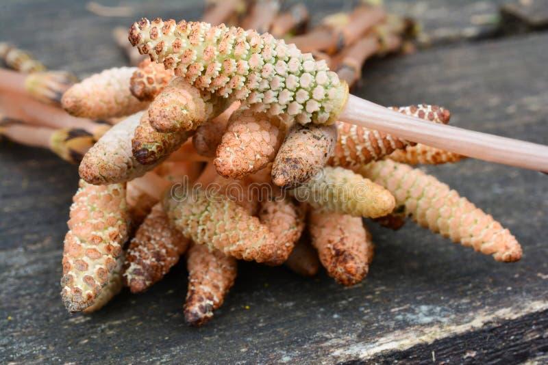 Żyźni trzony kuracyjny Horsetail rośliny zakończenie up zdjęcie royalty free