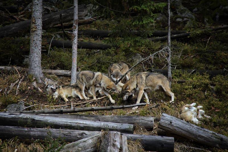 Życie w paczce wilki fotografia stock