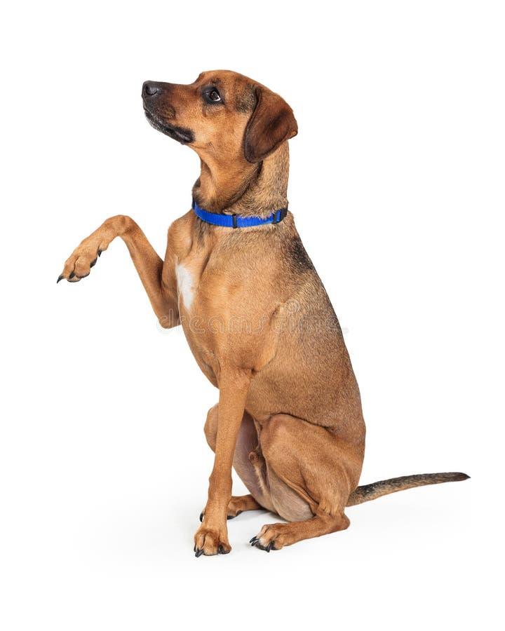 Życzliwa Brown psa dźwigania łapa Trząść zdjęcia royalty free