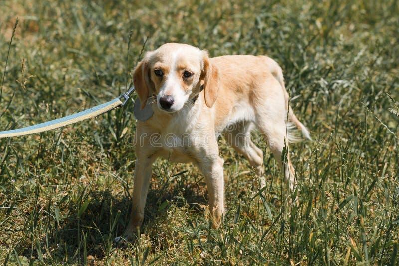 Życzliwy jasnobrązowy pies jest przestraszonym, okaleczającym psem na spacerze w t, fotografia stock