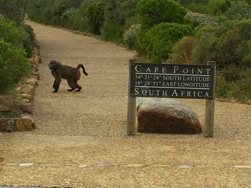 Życzliwy pawian przy parkiem narodowym w przylądka punkcie, Południowa Afryka zdjęcia royalty free