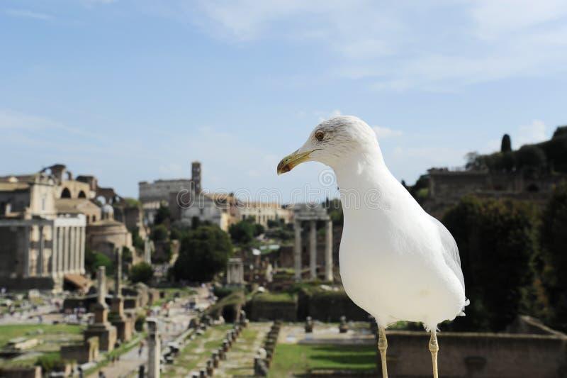Życzliwy seagull przeciw tłu Romański forum w Rzym, Włochy Romański forum jest jeden główni podróży przyciągania Rzym obraz stock