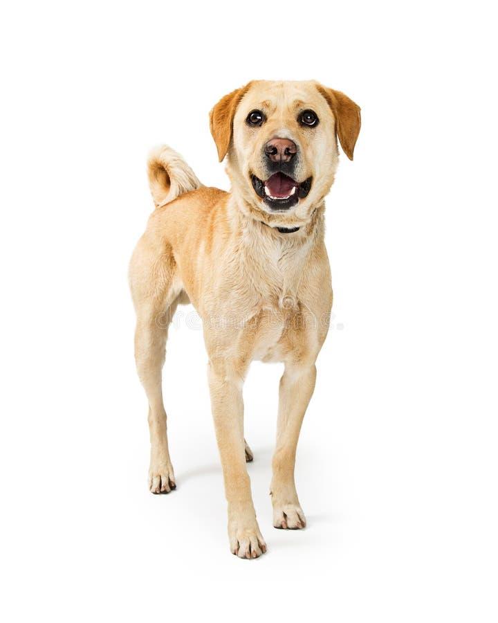 Życzliwy Szczęśliwy Labrador Retriever pies na bielu obraz royalty free