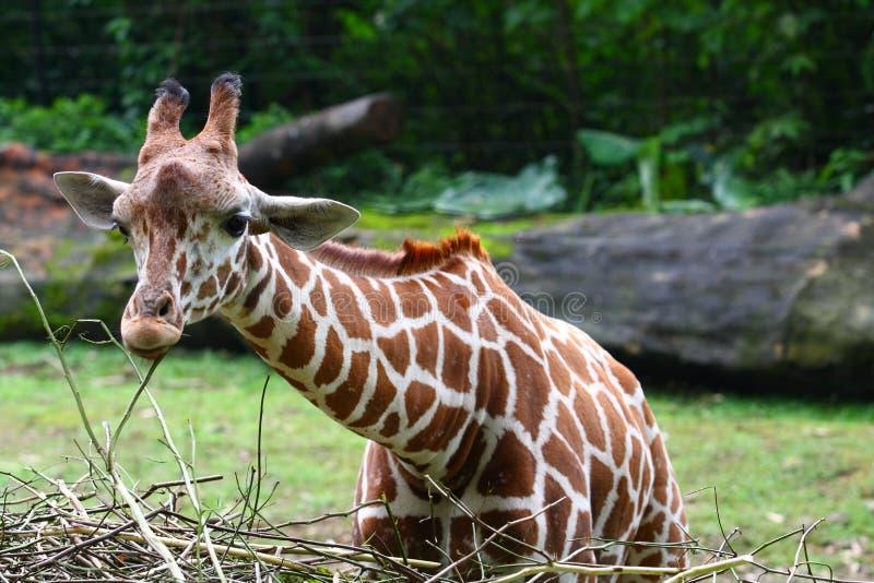 żyrafa zdjęcie royalty free