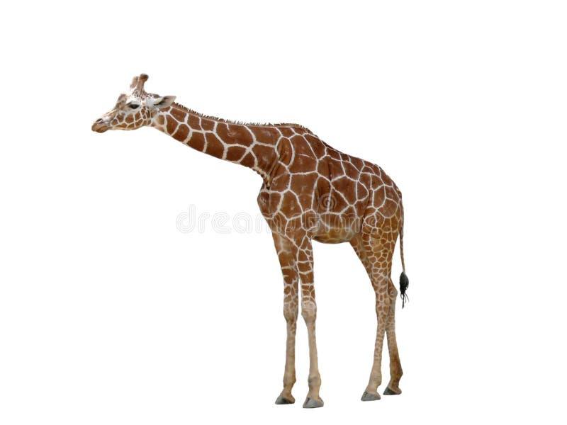 żyrafa fotografia royalty free