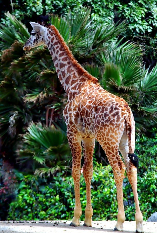 żyrafa dziecka obrazy stock