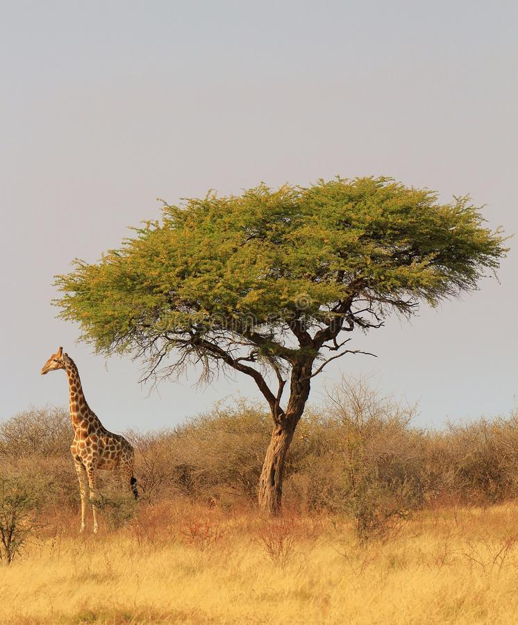 Żyrafa i Camethorn drzewa - Afrykańska królewskość obraz royalty free