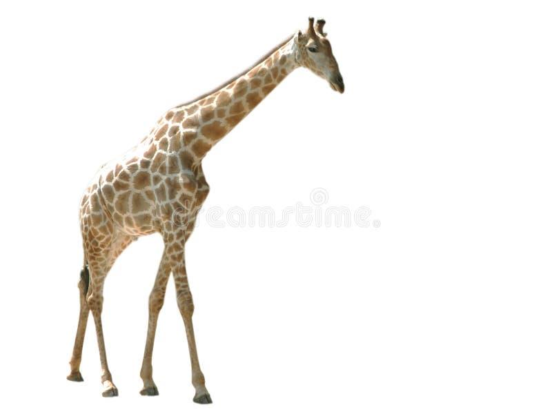 żyrafa odizolowywał obrazy royalty free