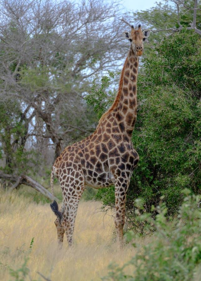 Żyrafa patrzeje kamerę w krzaku przy Kruger parkiem narodowym, Południowa Afryka obrazy stock