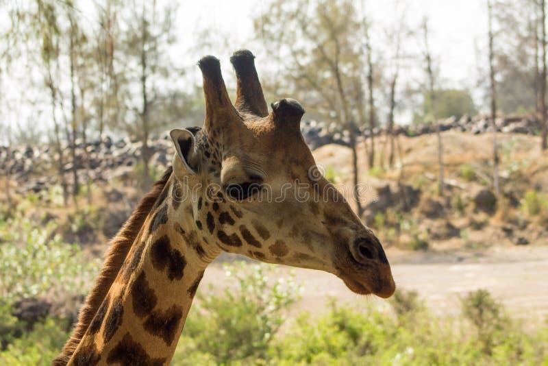 Żyrafa portret w Haller parku, Mombasa, Kenja zdjęcia royalty free