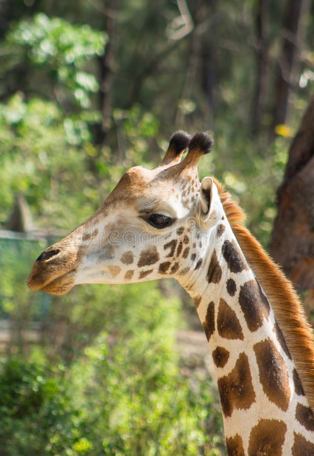 Żyrafa portret w Haller parku, Mombasa, Kenja fotografia royalty free