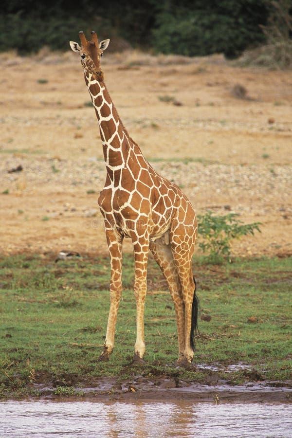 żyrafa siatkująca zdjęcie royalty free
