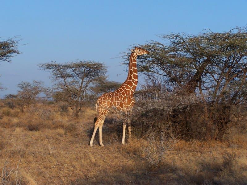 żyrafa siatkująca obrazy royalty free